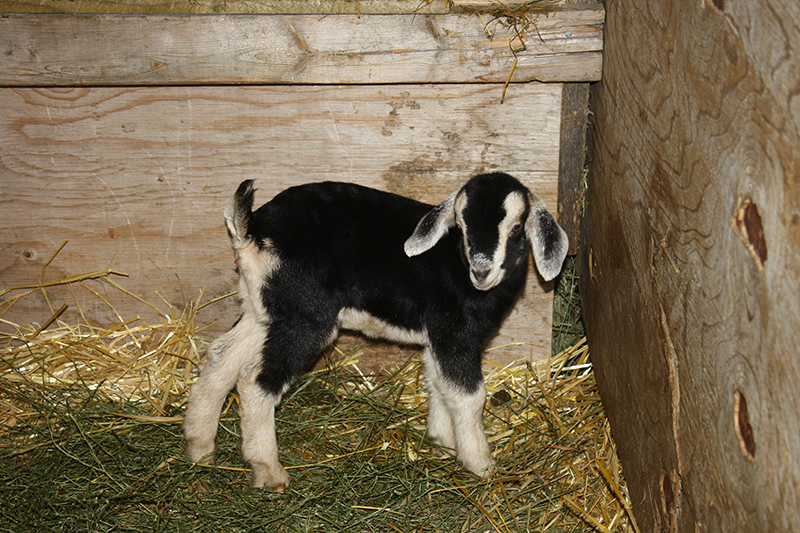 Sch-visit-baby-goat