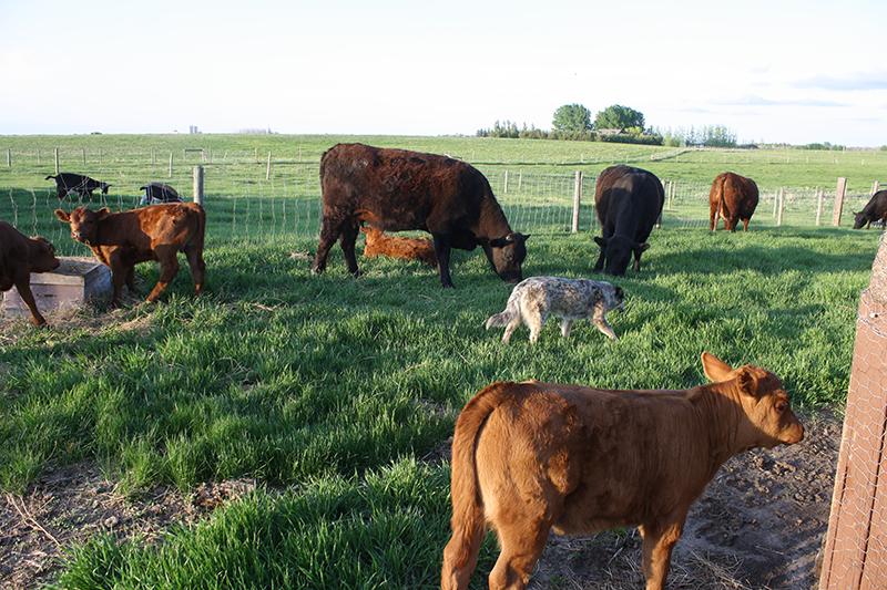 Sch-visit-cows2